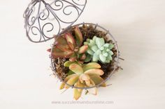 Fill a bird cage with succulents for a fun decoration