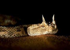 Cerastes cerastes (horned desert viper)