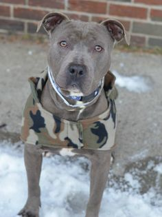 Brooklyn Center BLUE - A1027235 MALE, GRAY / WHITE, PIT BULL, 2 yrs STRAY - STRAY WAIT, NO HOLD Reason ABANDON Intake condition EXAM REQ Intake Date 02/05/2015 https://www.facebook.com/photo.php?fbid=958447687501444