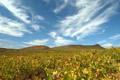 Breede Valley, McGregor Cape Dutch, Event Photography, Grape Vines, The Row, Fine Art Prints, Landscape, Plants, Travel, Plant Bed