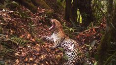 Javan leopard caught on camera trap by CIFOR stock footage library. A rare and endangered Javan leopard (Panthera pardus melas)  is caught on a camera trap in the forest of Gunung Halimun-Salak National Park,  Java, Indonesia.