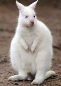 baby albino wallaby (Australia)