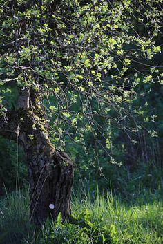 Omenapuu // apple tree