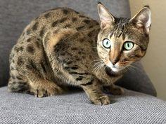 F4 Savannah Cat - Spots