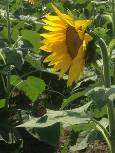 Maria's field of hope sunflower and butterfly  photo Lorie Everett