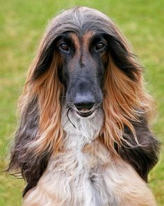 Delta by Leannaht on Flickr.    Afghan Hound