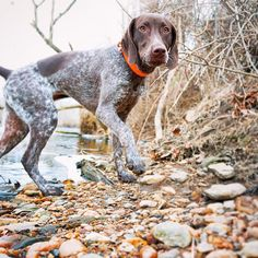We love this photo of beautiful Piper, shared by our Facebook fan Annie! (thank you!) #BassProDogDays #GSP