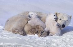 Protection: Not only did the mother give the cubs a ride on her back but she also let them use her as a blanket as they settled down in the ...