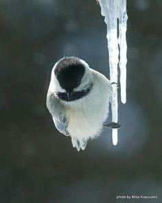 chickadee on an icicle