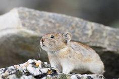 クビワナキウサギはナキウサギの一種で、アラスカやカナダなどの寒い地域に生息する。ハムスターとウサギを混ぜ合わせたようなその姿もとてもかわいいのだが、動き方も、もうギュってしたくなるくらいかわいいのだ。
