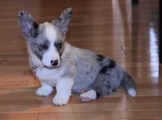 Blue merle corgi by jaci_vb KingdomOfCat .guru is our new furry friend . Checkout of their web site Blue Merle Corgi, Blue Merle Pomeranian, Corgi Husky, Baby Animals, Funny Animals, Cute Animals, Pretty Animals, Cute Puppies, Dogs And Puppies