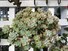 Sedum clavatum showing winter colours in my Australian Succulent Garden 3rd June2016