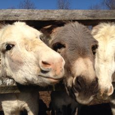 Donkeys are so nosey! They want to help you with whatever chore you are doing.