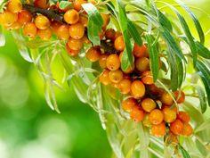 Plantarea arbustilor de catina