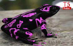 Amazon Kurbağaları