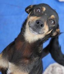 "Petfinder Adoptable Dog | Miniature Pinscher | Austin, TX | ""Zoey"" Look at that smile!"