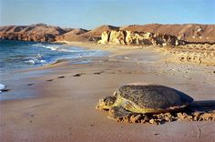 Turtle beach, Oman - cant wait to go find some baby turtles!