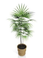 Bamboo palm (Chamaedorea erumpens) makes a beautiful indoor houseplant with its long, drooping jade-green leaves that grow on cane-like stems.