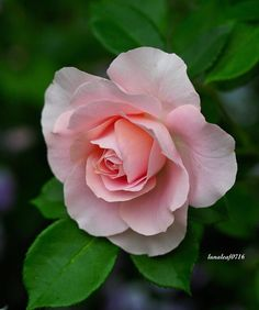 Quick To Build Moveable Greenhouse Options Location # Beautiful Rose Flowers, Flowers Nature, Exotic Flowers, Amazing Flowers, Beautiful Flowers, Pink Roses, Pink Flowers, Rose Reference, Flower Pictures
