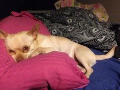 Blackie Chihuahua | Pawshake