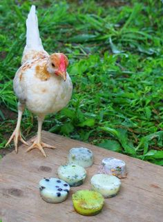 Use these organic chicken feed ideas to get better tasting eggs from your backyard chickens. You probably already have the ingredients on hand - great for backyard chicken beginners. Raising Backyard Chickens, Backyard Chicken Coops, Diy Chicken Coop, Farm Chicken, Chicken Bird, Chicken Coup, Small Chicken, Chicken Ideas, Urban Chickens