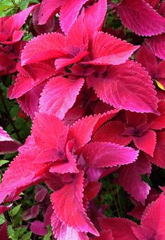 Good tips for Coleus. Feeding & care, landscape use, taking cuttings, baskets etc. Read: http://myhangingbaskets.com/Coleus_in_Hanging_Baskets.htm