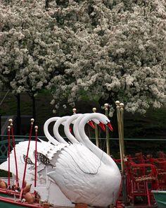 Boston Public Garden, Swan Boats.