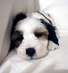 Are Tibetan Terriers a good choice for your next best friend? Find out. Breed characters, history, grooming, personality, health issues, pros and cons