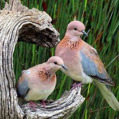 Rooiborsduifies / Laughing doves The Laughing Dove is a small pigeon that is a resident breeder in Sub-Saharan Africa, the Middle East east to the Indian Subcontinent. Kinds Of Birds, All Birds, Love Birds, Pretty Birds, Beautiful Birds, Animals Beautiful, Exotic Birds, Colorful Birds, Animals And Pets