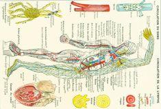 1912 Circulation du sang illustration Planche originale | Etsy Decor Vintage, Circulation, Sang, Illustrations, Singing, Etsy, Illustration, Illustrators, Drawings