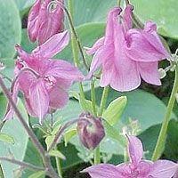 Aquileja vulgaris -