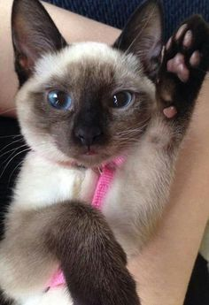 Siamese #kitten :) - Spoil your kitty at