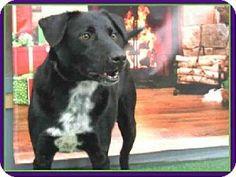 Houston, TX - Labrador Retriever Mix. Meet JET, a dog for adoption. http://www.adoptapet.com/pet/8748639-houston-texas-labrador-retriever-mix