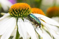 #Goldsmith #Beetle On #Echinacea #Purpurea #Alba @123rf #123rf #macro #nature #flowerpower #details #garden #stock #photo #new #download #hires #portfolio