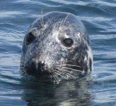 Hopefully we will see some seals on our boat trip to Seal Island Celtic Nations, Seaside Village, Marine Conservation, Nature Reserve, Cornwall, Whale, Wildlife, Coast, Island
