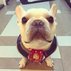 """""""Happy Chinese New Year everybody! See my little treasure bag hanging on my neck? That's to gather more luck and treats from this CNY and on~ I love you all!"""" French Bulldog"""