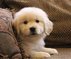 The Golden Retriever was originally bred for hunting and retrieving fowl but he is also one of the most versatile dog breeds used as a working dog or a family dog Cute Dogs And Puppies, Baby Dogs, I Love Dogs, Doggies, Cute Baby Animals, Animals And Pets, Bizarre Animals, Chien Golden Retriever, Golden Retrievers
