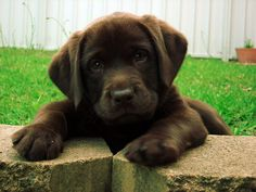 Chocolate Labrador retriever ✦⊱Pinteres @21overyou  ♡