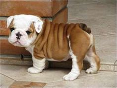baby bull dog