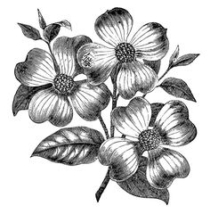 Free Vintage Images - Dogwood Flowers--Graphics Fairy--comes in peach color too