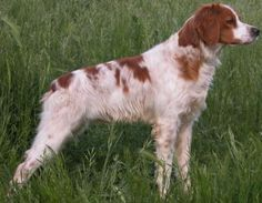 Brittany Spaniel ~ Classic Look