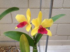 Lc. Gold Digger Orchid Jungle