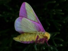 TheRosy Maple Moth(Dryocampa rubicunda) is a North American moth in the Saturniidae family. Males have a wingspan of 32–44mm; females of 40–50mm.
