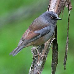 Maroon-backed Accentor, Prunellidae family: Bhutan/ China/ India/ Myanmar/ Nepal