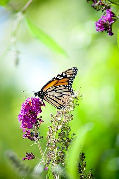 Monarch butterfly... why do the most beautiful things in nature happen to also be the most toxic.