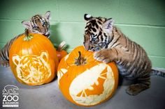 Paws for Some Fun: Happy Halloween from ZooBorns!
