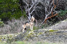 Victoria's handsome, island-hopping wolf has no shortage of admirers, but his Aboriginal protectors say he needs space