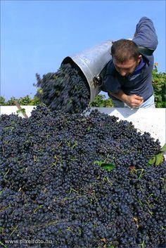 Grape harvest, in the butt - Hungary, Gyöngyös — Szőlő szüret Gyöngyösön, a puttonyos