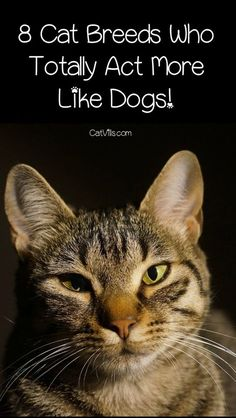 Looking for dog-like cats? Look at these 8 cat breeds that are more like dogs than cats! Looking for dog-like cats? Look at these 8 cat breeds that are more like dogs than cats! Types Of Cats Breeds, Large Cat Breeds, Popular Cat Breeds, Best Cat Breeds, Cat Types, Different Breeds Of Cats, Cute Cat Breeds, Dog Breeds, Hypoallergenic Cats