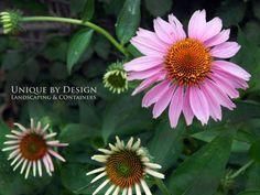 Unique by Design Landscaping & Containers Common Names, Berry, Flora, Gardening, Landscape, Unique, Plants, Design, Garten